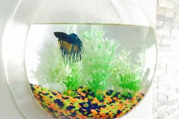 Pecera Ballon Fish